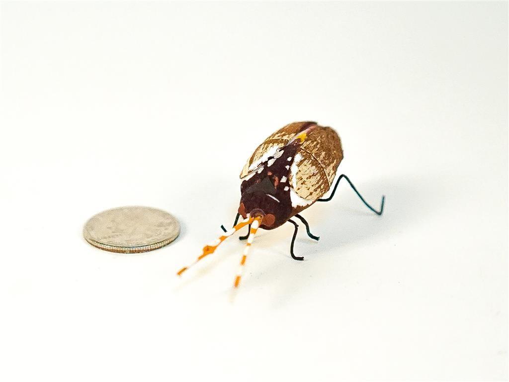 """Beetle Goldsmith 1.5"""""""