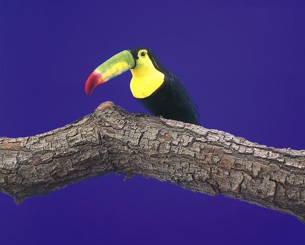 "Bird Toucan Black 6.5"""