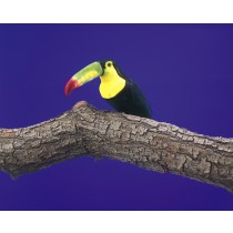 Bird Toucan Black 6.5""