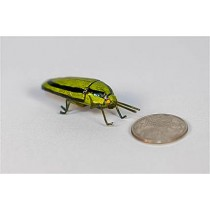 Bug Green w/Blk Line 2.25""