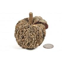 """Apple Nat. Fungus 2.5"""""""