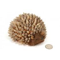 "Hedgehog Nat. Sea Shell Back 6"""
